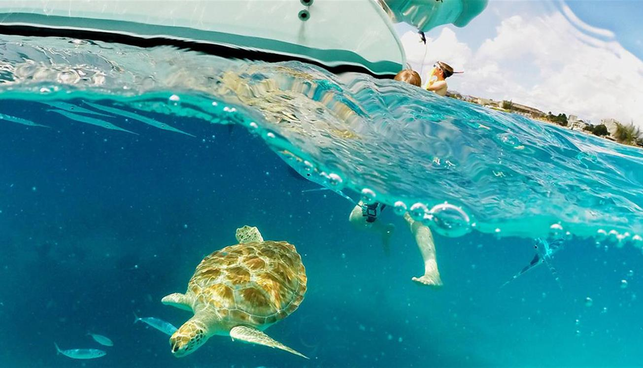 the barbados sea turtle